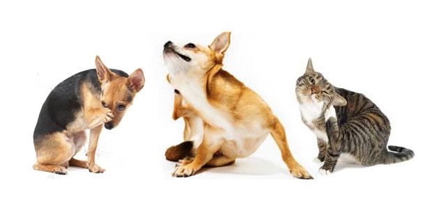 parassiti di gatto comuni