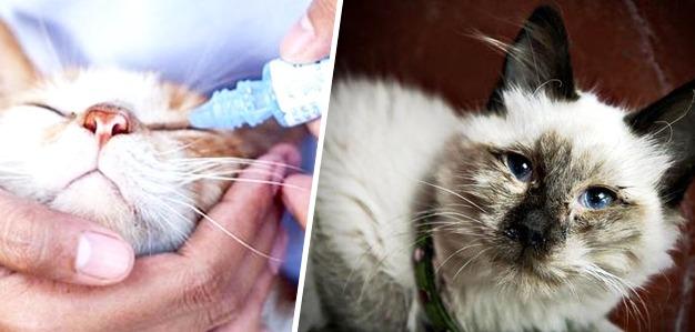 herpesvirus felino