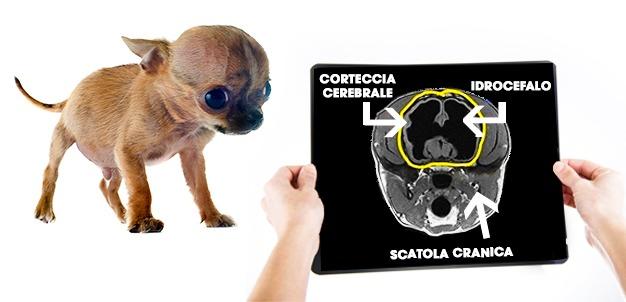 Idrocefalia cane