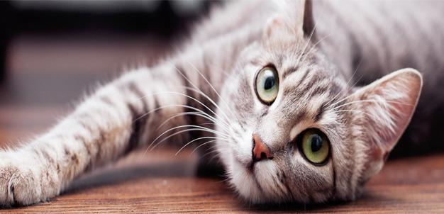 Epatopatie del gatto